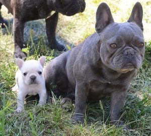 Teacup French Bulldog Full Grown Amulette